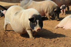 PIG. This is a pig in the zoo Royalty Free Stock Images