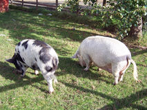 Pig 3. Two pigs Royalty Free Stock Images