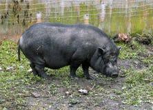 Pig. Black pig Stock Images