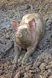 Pig. Wollowing in the mud Royalty Free Stock Photos