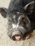 Pig. Japanese pig or boar Stock Photography