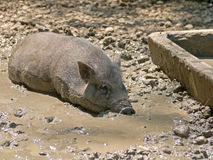 Free Pig Royalty Free Stock Images - 54919469