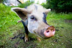 Pig. A portrait of a pig Royalty Free Stock Images
