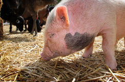 Pig. Young pig on straw, outside Royalty Free Stock Photos