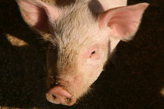 Pig. Shot of pig in the piggery on the farm yard Royalty Free Stock Image