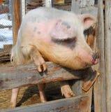 Pig. Big dirty pig in pigpen Stock Photos