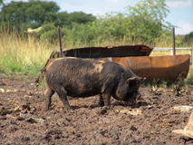 Pig. Dirty Pig in the mud royalty free stock images