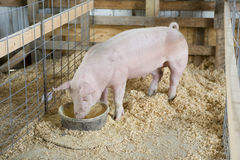 Pig. Young hog in barn stall Royalty Free Stock Photos