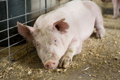 Pig. Young hog in barn stall Stock Photography