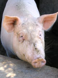 Pig. Portrait royalty free stock images