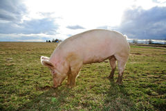 A Pig. A domestic pig on a farm in Northwest America Stock Photos