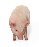 Pig. Small thick pig who is represented on a white background Stock Images