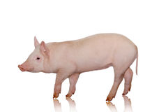 Pig. Who is represented on a white background Royalty Free Stock Photo