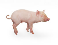 Pig. Who is represented on a white background Royalty Free Stock Images