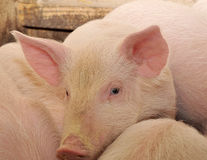 Pig. S who are photographed on one of farms Stock Photos
