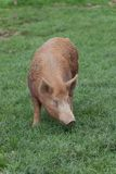 Pig. In a field on a farm Stock Photo