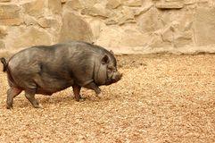 Pig. Stock Photography