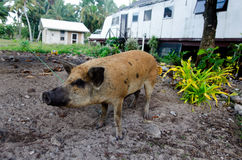 Pig - Aitutaki Lagoon Cook Islands Stock Photo