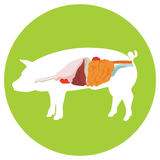 Pig anatomy. digestive system. Pig anatomy. digestive system of the pig. incide view stock illustration