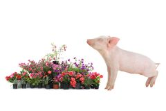 Pig andl flover Royalty Free Stock Photos