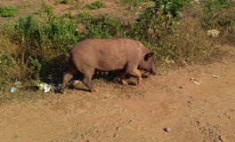 Pig animal. For all kind of projects royalty free stock photo