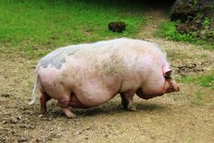 Pig in the Animal Park. Pigs are omnivores and can consume a wide range of food, similar to humans. A typical pig has a large head with a long snout which is Stock Photos