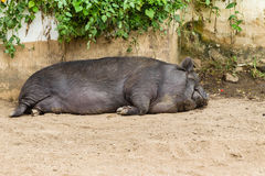Pig Animal Sleeping. Pig animal closeup sleeping farm pen Stock Image