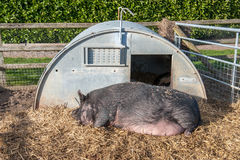 Pig asleep outside hut Stock Photo