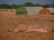 Pig aslep in mud Stock Photography