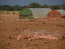 Pig aslep in mud. Pig lying down sleeping in mud stock photography