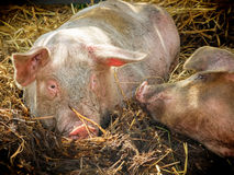 Pig attraction. Pig moving closer to another pig in a pigsty. Sun shining to the hay stack they are lying on Royalty Free Stock Image