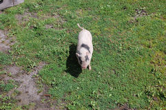Pig. Autochthonous race called mangulica,from Serbia,province Vojvodina Royalty Free Stock Photography