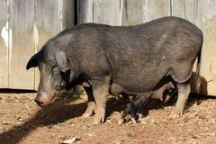 Pig and baby Stock Photo