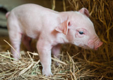 Pig baby piglet. In a farm royalty free stock images