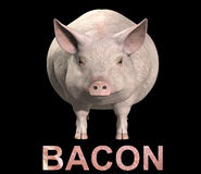 Pig And Bacon. An image of a pig with a sliced bacon overlay texture on the word bacon Stock Photography
