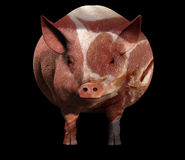 Pig And Bacon. An image of a pig with a sliced bacon overlay texture on the pig Stock Image