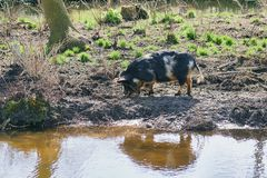 Pig on the bank of a reservoir. royalty free stock photo
