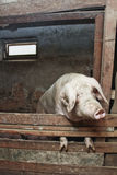 Pig in barn Stock Images