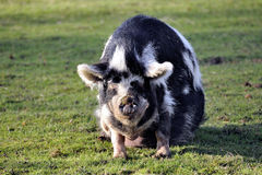Pig in the barnyard Royalty Free Stock Photo