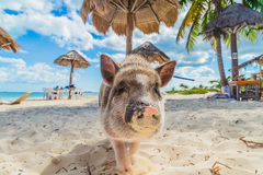 Pig on the beach. Dirty beach. Piglet under the palm trees Stock Image