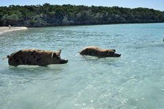 Pig beach. Feral pigs living on Big Major Cay, Exuma, Bahamas, locally known as pig island Royalty Free Stock Photography