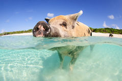 Pig beach. Pig standing with nose above water at Pig Beach on Big Major Cay in the Bahamas Royalty Free Stock Photography