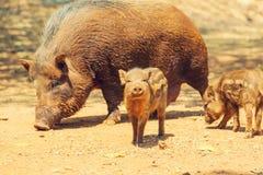 Pig. Beautiful little pig. Wild boar stock photos