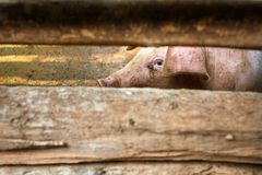 A pig behind the barn fence Stock Photo