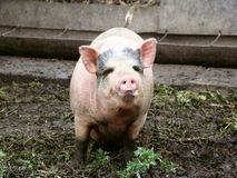 Pig. Behind the fence looking for food view from the swine farm Royalty Free Stock Image