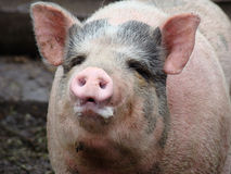 Pig. Behind the fence looking for food view from the swine farm Royalty Free Stock Photos