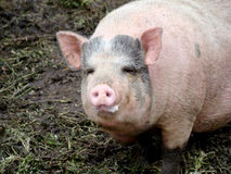 Pig. Behind the fence looking for food view from the swine farm Stock Photography