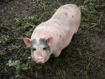 Pig. Behind the fence looking for food view from the swine farm Royalty Free Stock Images
