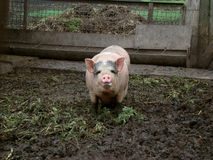 Pig. Behind the fence looking for food view from the swine farm Stock Photo