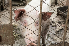 Pig behind the fence Royalty Free Stock Image